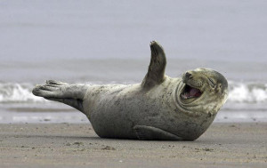 laughing_seal_on_beach
