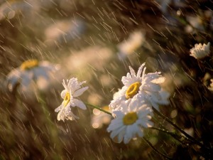 summer-rain-on-the-flowers-hd-wallpaper-download-summer-rain-images-free
